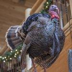 Eastern Wild Turkey in Gift Shop
