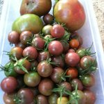 Daily harvest of tomatoes