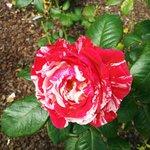 """A """"trial"""" rose"""