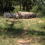 the rhinos and the wildebeest