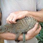 poepsie, the naugthy mongoose