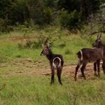 some waterbuck