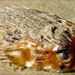 Blowfish washed up on shore