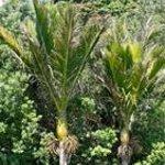 The Nikau Palm Tree, New Zealand's only native palm tree