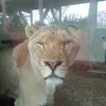 Lion inside its enclosure