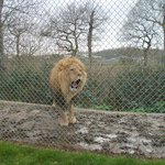 Lion having a yawn