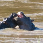 Hippo babies playing.