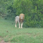 Male lion (who roared all night long!)