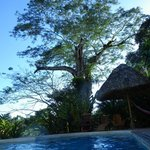 Guanacosta Tree as seen from the rooms and pool area.
