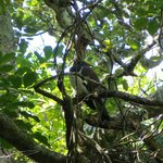 Wood pigeon resting in a tree