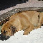 10 Month Boerboel