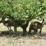 Our local Kangaroos