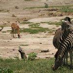 Impala & Zebra