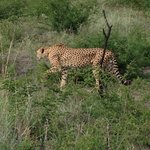 Cheetah on game drive