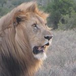 One of Kwandwe's two male lions