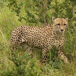 Cheetah on drive