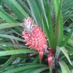 Pineapple in the garden