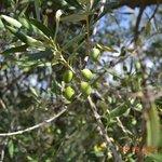 Olive Oil Tastings