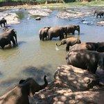 Elephant Orphanage in Pannawala