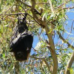 close up of a flying fox