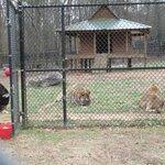 Bear, tiger, lion