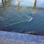 Dolphin swimming near pier off patio