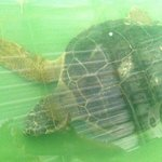 Nuri the Turtle at the Hospital, he lost his front fin as it had got tangled in fishing line