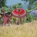 Wandeltocht door de rijstvelden