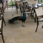 Friendly peacock roaming the beach restaurant/bar area