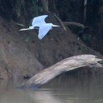 Pretticus Birdicus