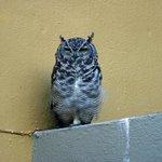 A Visiting Eagle Owl