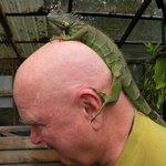 iguana on bald head