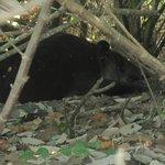 Tapir- Corcavado