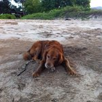 Doggie enjoying a tasty crab treat on Makena  Beach