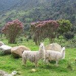 Llamas along the bike ride