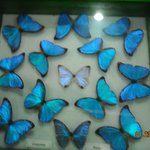 Preserved butterflies in the Insectarium