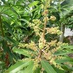 Fleurs de manguier