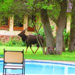 a nyala near the swimming pool
