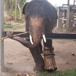 Baby elephant with prothesis