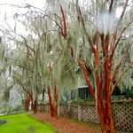 Spanish Moss on the Crepe Myrtles