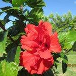 Hibiscus fleur populaire de Cuba