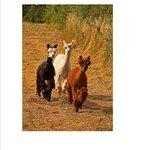 Alpacas on the Childrens Farm