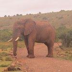 Avery big bull elephant