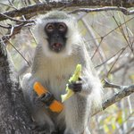 Monkey thief - stole our fruit at breakfast