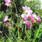 Orchids blooming along a walkway