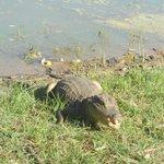 Babillas, nonbre de estos reptiles