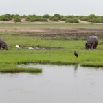 Hippos Along the Chobe River on the Namibia Side, A Favorite Feeding Area