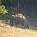 Elephants in Periyar Forest