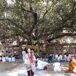 Bodhi tree, Mahabodi temple, Bodh Gaya