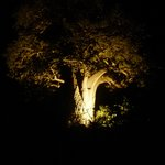 The Baobab: among the oldest trees on earth